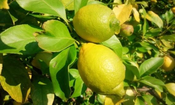 レモン畑1 (1024x616)